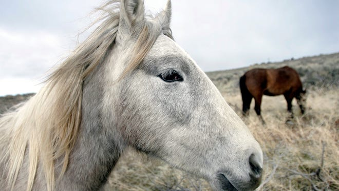 FILE - In this March 14, 2006 file photo, a herd of wild horses graze near the Carson River in Carson City, Nev. Arguments in a lawsuit filed by wild horse enthusiasts who are challenging a U.S. Bureau of Land Management roundup of hundreds of wild horses from western Wyoming rangelands last fall are scheduled before a federal judge Monday, March, 2, 2015. (AP Photo/Nevada Appeal, Chad Lundquist, File) MAGS OUT, NO SALES