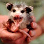 Opossums: Where Lyme disease goes to die
