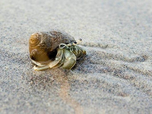 long-clawed hermit crab.jpg