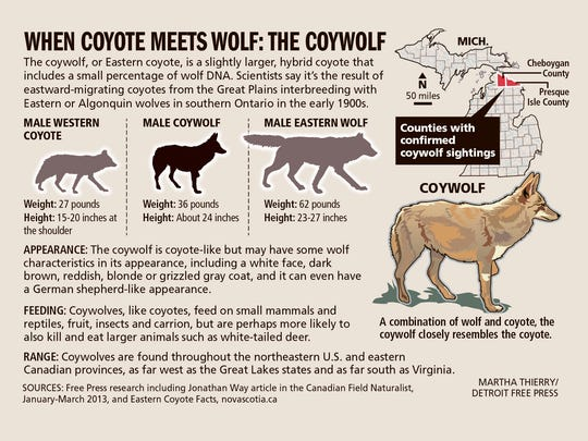The coywolf, or Eastern coyote, is a slightly larger, hybrid coyote that includes a small percentage of wolf DNA.