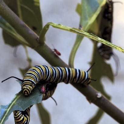 THINKSTOCK.COM The monarch caterpillar especially enjoys tropical milkweed but pesticides render the plant useless as a food source.