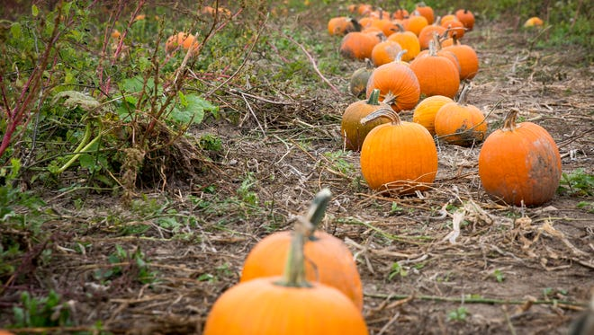 Patrons gather pumpkins and navigate the corn maze at the Landess Farm in Daleville Sunday afternoon for their fall season.