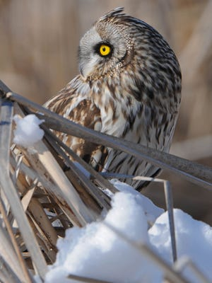 Photo by Ken Saunders II of a short-eared owl, which is listed as an endangered species in Iowa.