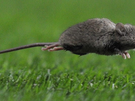 A mouse runs onto the pitch during the E