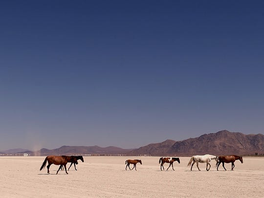Wild horses roam across the Black Rock desert on August 12, 2016. In the background the Black Rock City is slowly going up for the yearly Burning Man event.