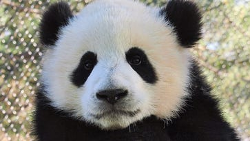 Baby pandas charm visitors to the Toronto Zoo