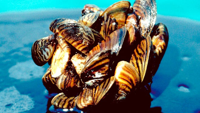 Zebra mussels were native to Russia, but have disrupted the aquatic food chains in many inland lakes in the USA.