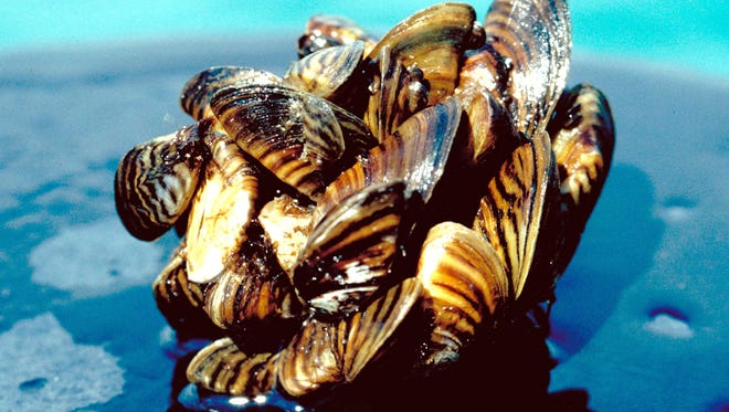 Invasive zebra mussels (shown here) and similar quagga mussels cover many areas of the Great Lakes. Is there a way to get rid of them?