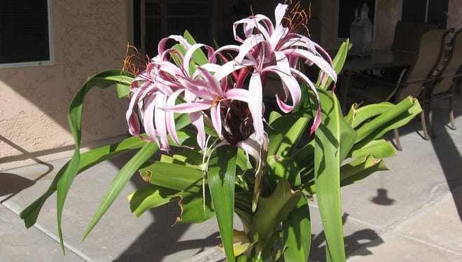 Crinum lilies are a long cultivated southern plant that was very popular during the 19th and early 20th centuries.
