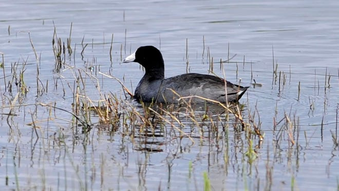 A duck floats close to the shore at Ankeny National Wildlife Refuge in this file photo.