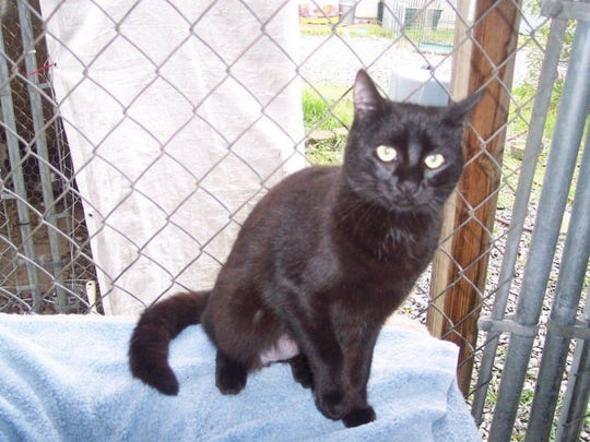 Pepsi is a 1-year-old, female, domestic short-haired black cat. She's friendly, playful and seems to get along with most dogs and other cats. Raining Cats N Dogs adoptions include spay/neuter services, vaccines and vetting as needed. Call 232-6299. Go to http://rainingcatsndogs.rescuegroups.org