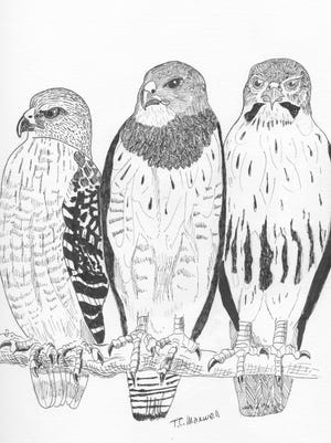 From left, red-shouldered hawk, Swanson's hawk and red-trailed hawk.