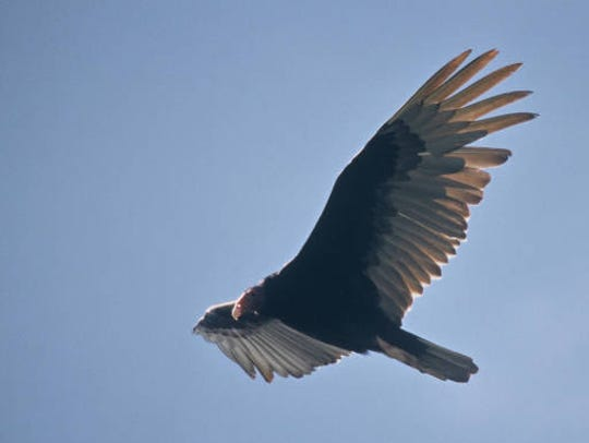A turkey vulture soars in the sky.