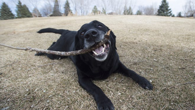 Gauge, a black lab, finds a stick to play with during a patrol for geese on the Southridge Golf Course on Friday, February 17, 2017.
