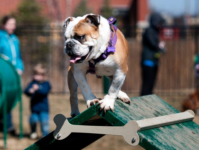 A canine guest perches atop one of the obstacles during the grand opening of the Tom Wood Subaru Dog Park at Clay Terrace in Carmel, Ind., on Sunday, March 30, 2014. The event was a chance for dog owners to break in the new facility. Olivia Corya/For The Star