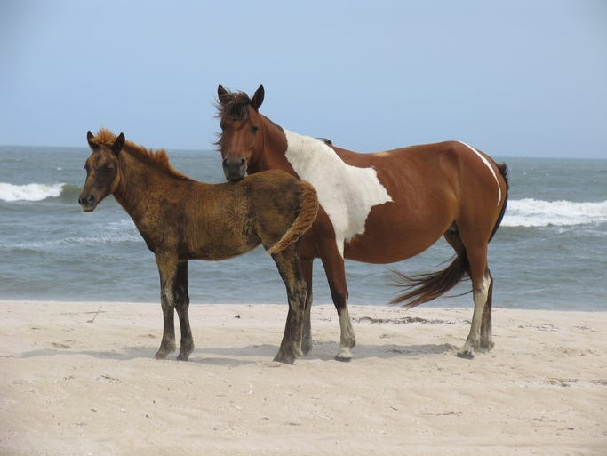 While famous for its wild ponies, Assateague Island National Seashore is also the major national seashore for the mid-Atlantic region.
