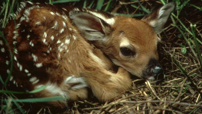A newborn deer fawn's only defense is immobility and a lack of scent for the first few weeks.
