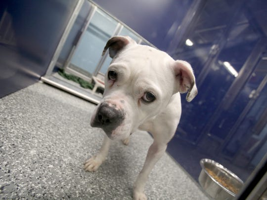 One of several dogs available for adoption inside the Macomb County Animal Shelter in Clinton Township  on Friday, Feb. 5, 2016.