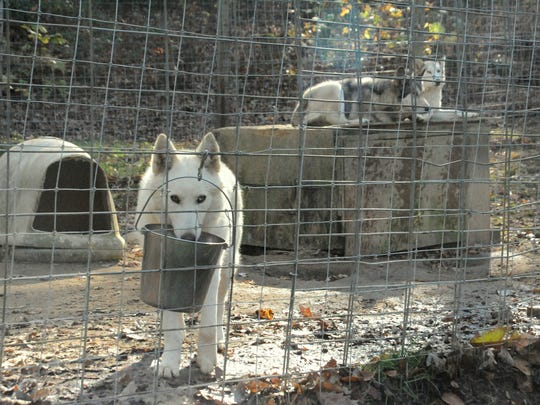 Some wolfdogs at Full Moon Farm seemed nervous about the nearby wildfire, but keeping them in familiar surroundings helped them remain calm, Brown said.