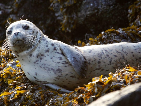 A harbor seal pup rests on seaweed-covered rocks after coming in on the high tide in the West Seattle neighborhood of Seattle.