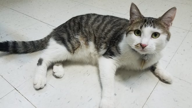 I'm Sphinx. I'm playful and outgoing. I've got a big personality, love people and I get along fine with other cats, once I adjust to them. Come to the Humane Society of North Central Arkansas, 2656 AR Hwy 201 N., to see me.  For more information, call (870) 425-9221.