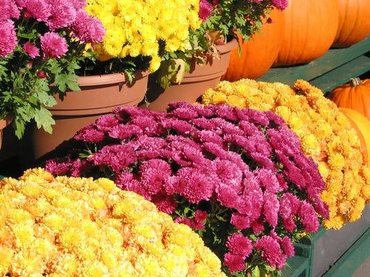 Fall Flowers and Pumpkins Mums