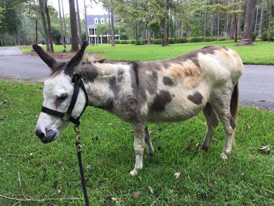 Jackson the miniature donkey