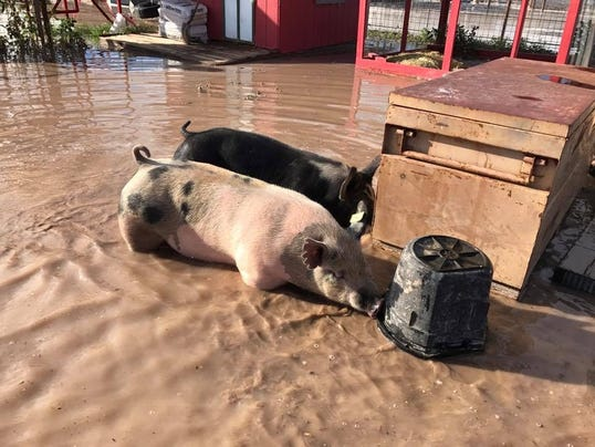 Flooded pigs photo