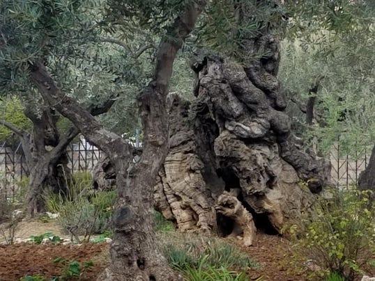 636561248106295462-Gethsemane.2000-Year-Old-Olive-Tree-Garden-of-Gethsemane-.jpg