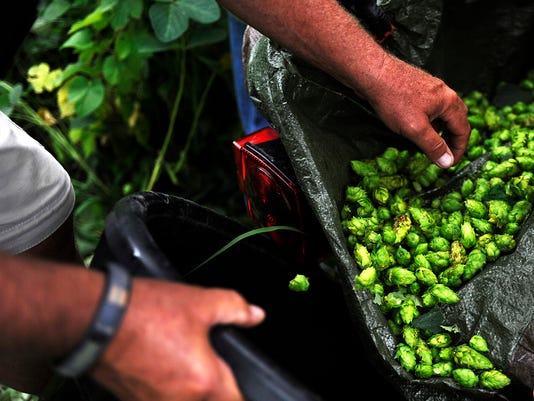 STA 0808 hops harvest