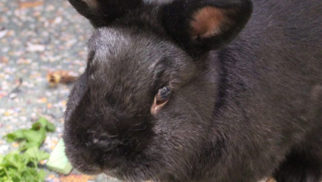 Max is waiting at the Oshkosh Area Humane Society for someone who wants to take home the cutest bunny ever.