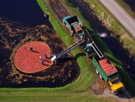 A birds-eye view of the cranberry harvest.