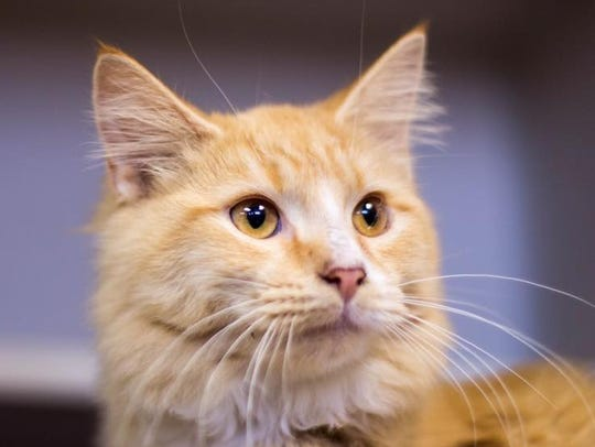 Peter is an adult male domestic medium hair with stunning