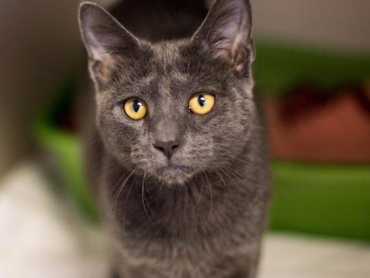 Freeway is an adult male domestic short hair with a