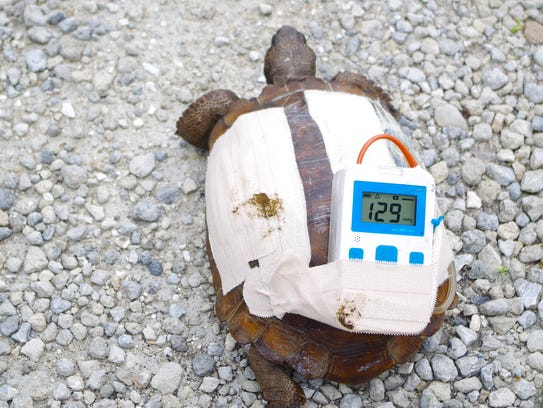 This gopher tortoise's wounds were successfully treated
