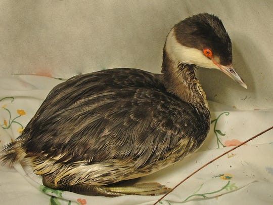 """This migrating Horned Grebe recovered from a """"navigation error"""" at St. Francis Wildlife."""