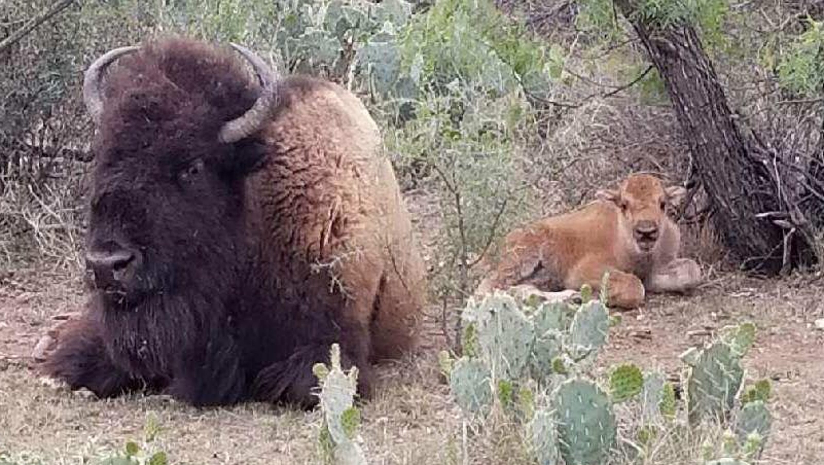 Baby Bison Spotted At San Angelo State Park Heralds Calving Season