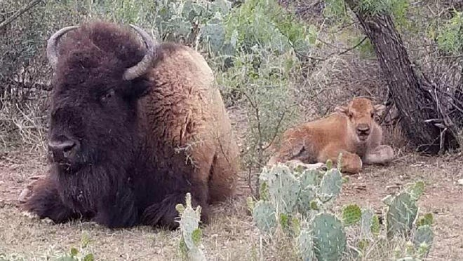A newly born baby bison was discovered by personnel at the San Angelo State Park, April 20, 2018
