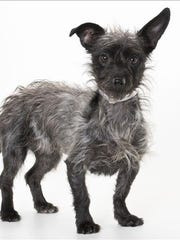 Thelma, 2-year-old female terrier mix dog. No. 100375.