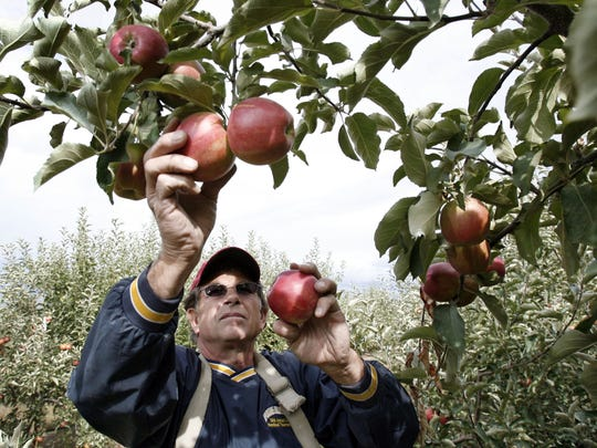 Mark Morrell picks over his Jona Gold apples at Walters' Fruit Ranch in September 2006 in Green Bluff, Washington.