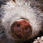 Pig nose.