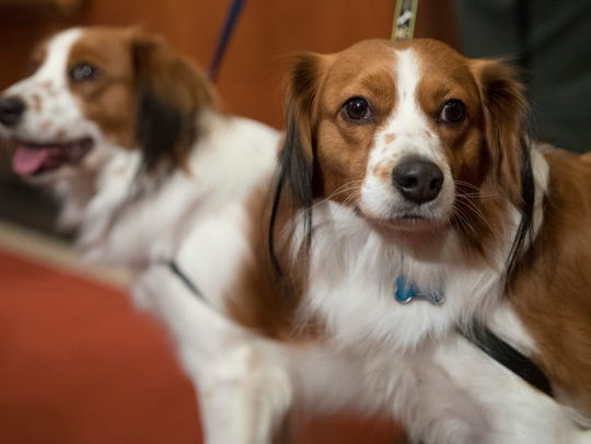 Nederlandse kooikerhondje, Escher, right, and Rhett