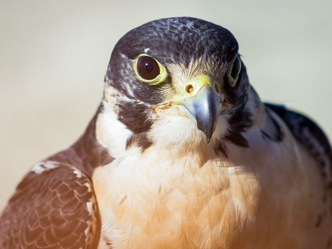 Falconers say their sport has saved peregrine falcons,