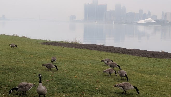 Canada geese graze on a grassy river bank on Belle Isle on Thursday, Nov. 2, 2017.