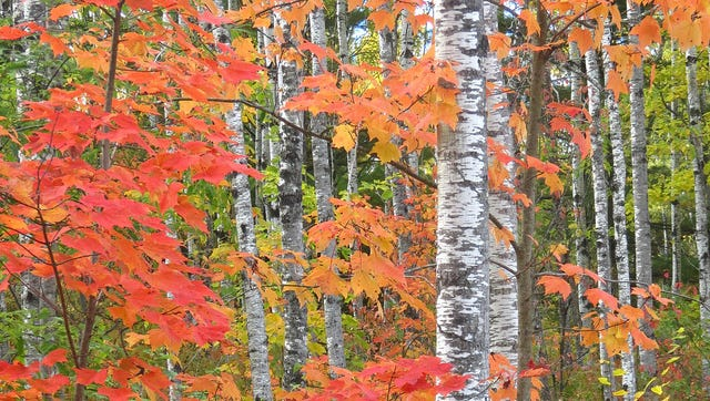 Maples are starting to turn in northern Wisconsin, including at the Brule River State Forest in Douglas County.