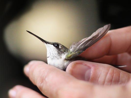 636075466919844546-Hummingbird.JPG