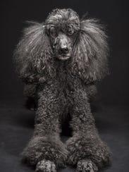 A standard poodle named Mercedes Ann.