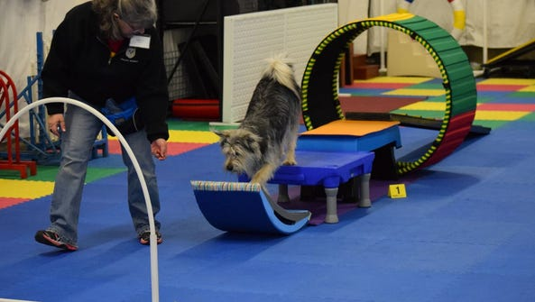 A dog named Phred works his way through a parkour exercise.
