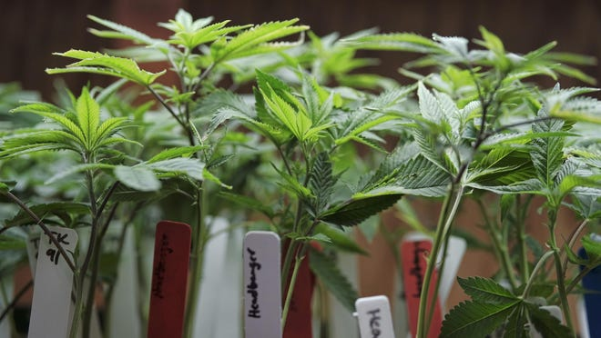 Marijuana plants for sale last month at the ShowGrow dispensary, a medical marijuana provider in downtown Los Angeles. California and other states recently approved recreational pot coming online.