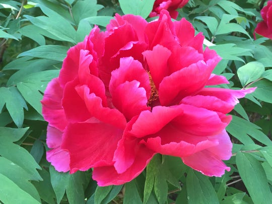 The 425 tree peonies near the entrance of the Rockefeller State Park Preserve are in full bloom for about 10 days in mid-May.